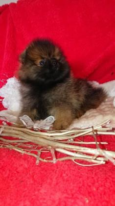 Teacup Pomeranian puppies available !!!