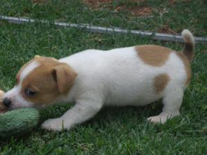 Male and Female Jack Russell pup