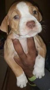 Puppies for Sale -Pitbulls