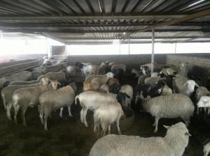 sheeps (Rams & Ewes) for sale Whatsapp +27631521991