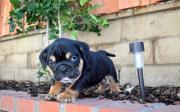 8 Weeks Old English Bulldog Puppies