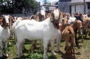 Healthy Boar goats available for sale