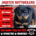 KUSA Registered Rottweiler Female Puppies