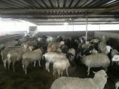 sheeps (Rams & Ewes) for sale Whatsapp +27631521991