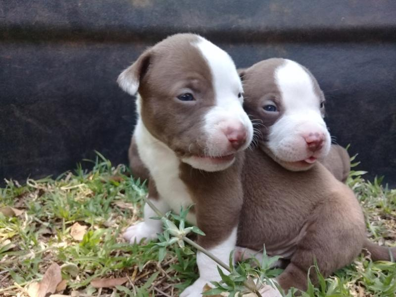 Buy Puppies For Sale Pitbull In Spain