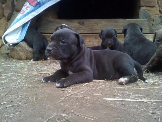 American Pitbull Terrier Registered Puppies for sale in Rustenburg, North West