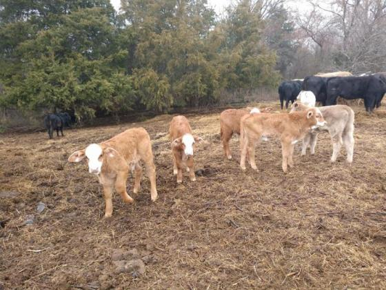 Buy Sheep, Cattle, Calves, Goats and other livestock for sale