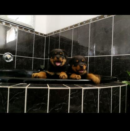 Thorough breed Rottweilers pups for sale in Durban, KwaZulu-Natal