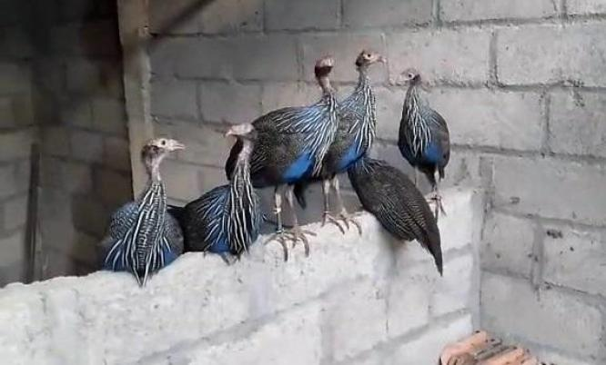 Vulturine And Crested Guineafowl with Fertile Eggs For Sale