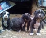 American pitbull Terrier Registered Puppies for sale