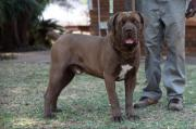 Boerboel  Male pupy wanted