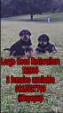 Large head rottweiler Pups