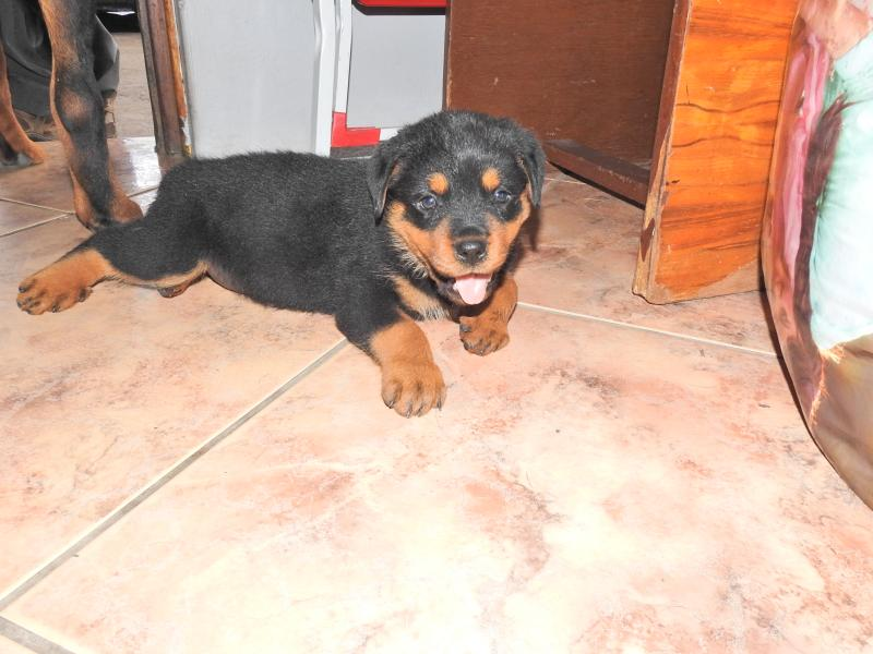 LION HEAD ROTTWEILER PUPPIES | Durban | Public Ads Rottweiler Dogs