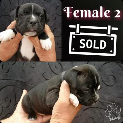 Kusa Staffordshire for sale