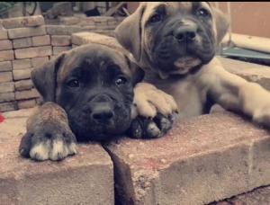 African boerboel Pups SABBS parents