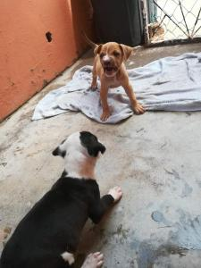 Pitbull Pups vaccinated, dewormed and Microchiped