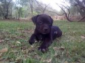American pitbull Terrier Registered Puppies for sale.