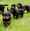 Beautiful Female Rottweiler puppies for sale