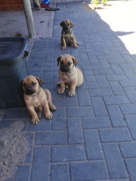 Beautiful BOERBOEL Puppies ready for a new home | Langebaan