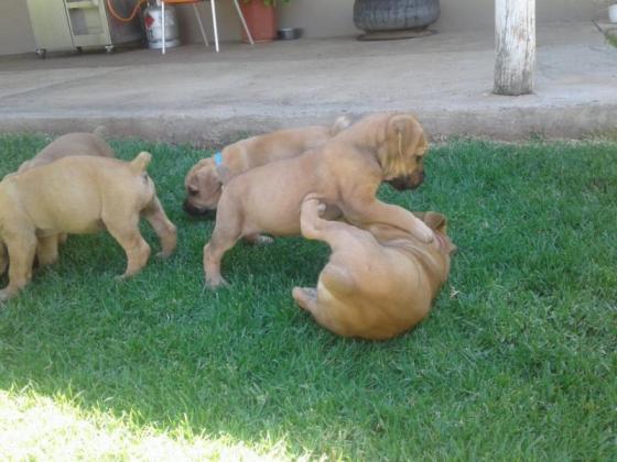 Boerboel puppies for sale in Bloemfontein, Free State
