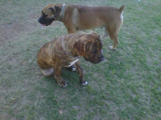 Boerboel puppy in Brakpan, Gauteng