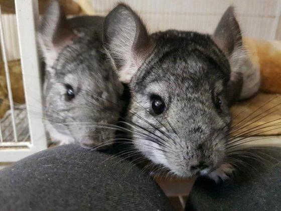 Chinchilla male and female looking for a new home in Swellendam, Western Cape