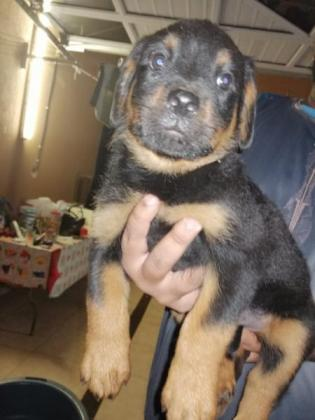 Large headed Rottweiler Pups