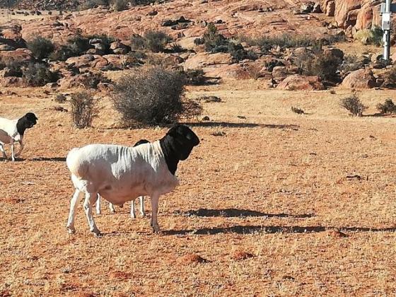 Persie ramme te koop in Vredendal, Western Cape