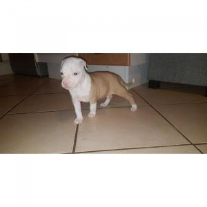 APBT female PUPPY available