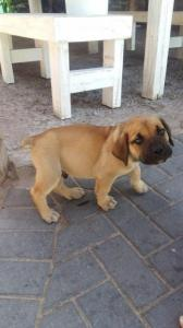 Beautiful BOERBOEL Puppies ready for a new home