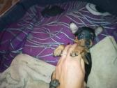 Miniature Pincher Puppies