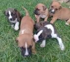 pitbull pups ready for new home