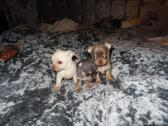 Tiny Chihuahua Puppies