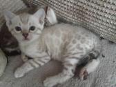 Exceptional Bengal Kittens Now Ready!!