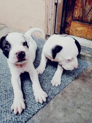 APBT American pitbull Terrier pups available