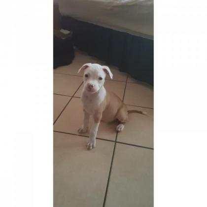 APBT female PUPPY available R1250