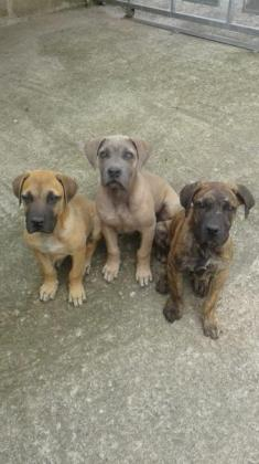 Boerboel pups  SABBS PARENTS