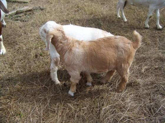 Dehorned Young Male Boer Goats for 4H Show or Breeding Goat