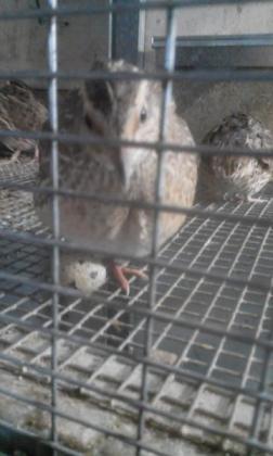 goliath quails