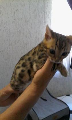 GORGEOUS BENGAL KITTENS AVAILABLE