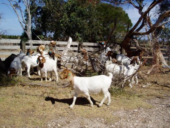 Purebred and Health Boer goats and sheeps for sale