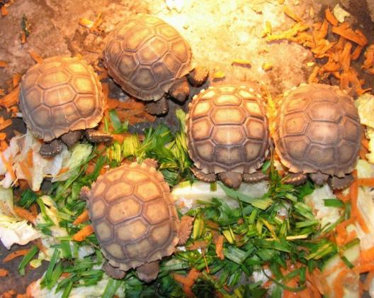 Homebred Young And Adults Tortoises For Sale in Cape Town, Western Cape
