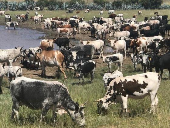Nguni, Bondmara & Brahman Cattles for sale and out of a quality flock. in Durban, KwaZulu-Natal