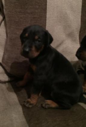 Purebred Doberman (Large breed) Whats app 0643713525
