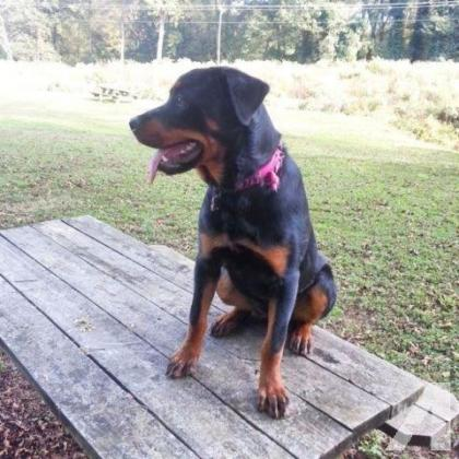Rottweiler 6month old female puppy for sale R3500 in Helderberg, Western Cape
