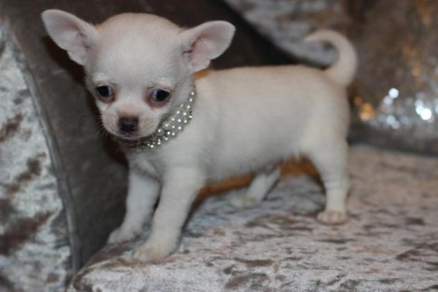 White Male Smoothcoat Chihuahua Puppy