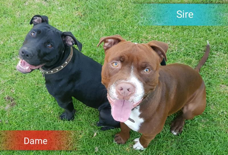 Red nose Pitbull puppies | Pretoria | Public Ads American ...