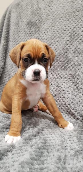 Stunning Boxer Puppies