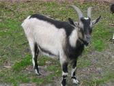 Alpine Goats