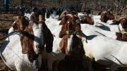 Boer Goats & Sheep For Sale